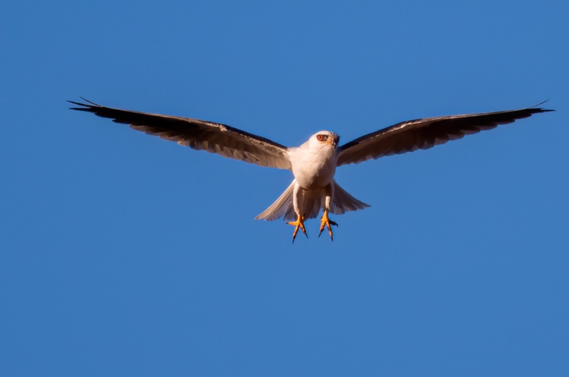 hawk in flight with legs and talons showing